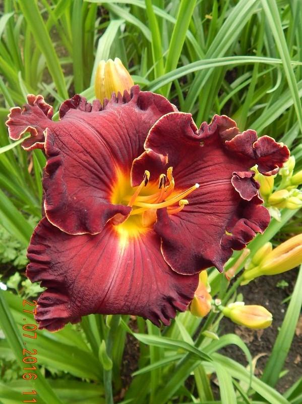 лилейники цветок Bloom