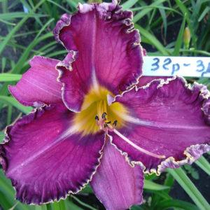 лилейник Фиолетовый омут